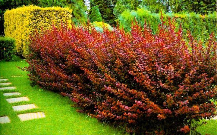 Барбарис садовый