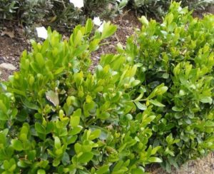 Декоративный кустарник самшит: посадка, уход и размножение