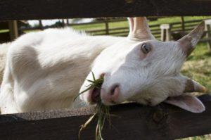 Содержание домашних коз