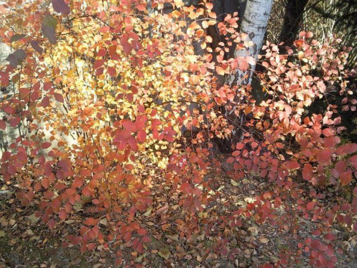 Спирея Вангутта осенью
