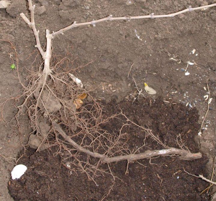Выкапывание корня