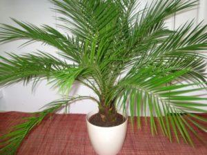 Домашняя пальма уход в домашних условиях фото 99