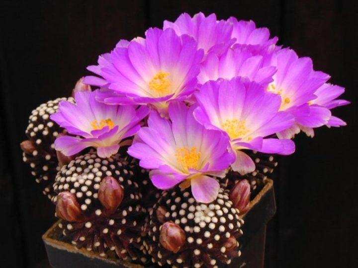 Кактус в цвету
