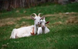 О кормлении козы в домашних условиях
