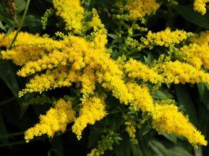 Трава золотая розга: лечебные свойства и противопоказания
