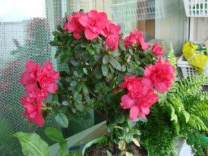 Цветок азалия и ее размножение в домашних условиях