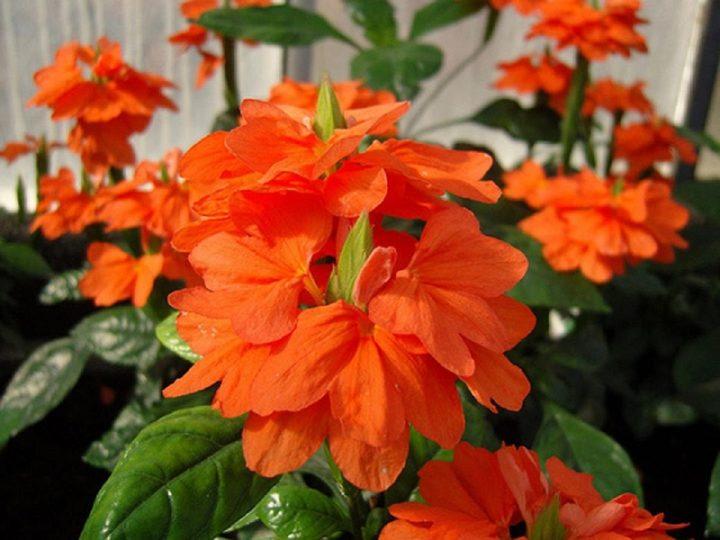 Цветок кроссандра уход в домашних условиях, кроссандра фортуна комнатная