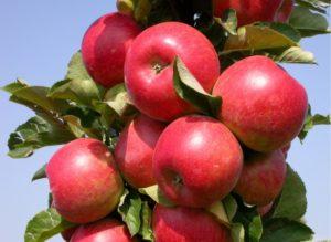 Яблони колоновидные: описание сортов для Подмосковья