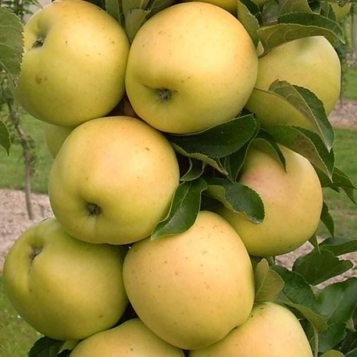 Яблоня колоновидная. Сорт Медок