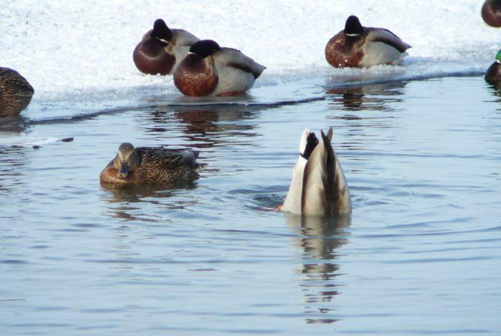 Дикие утки в природе питаются водной фауной