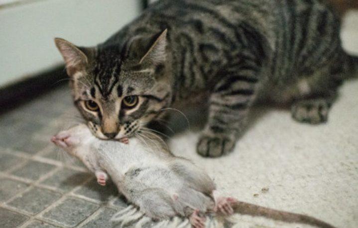 Истребитель крыс