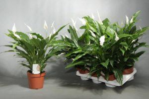 Какие виды спатифиллума популярны у цветоводов