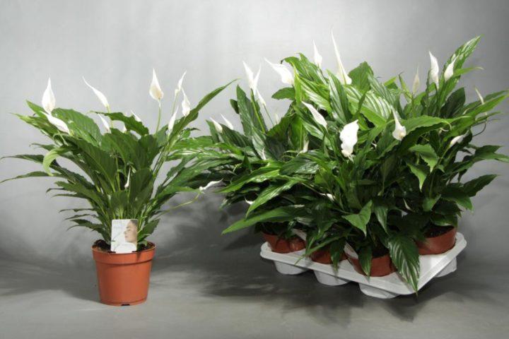Спатифиллум шопен уход в домашних условиях фото – spathiphyllum chopin