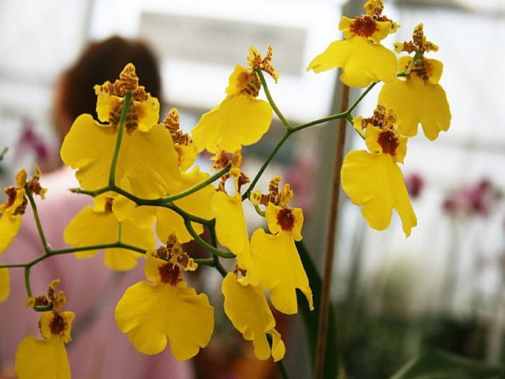 Орхидея Онцидиум
