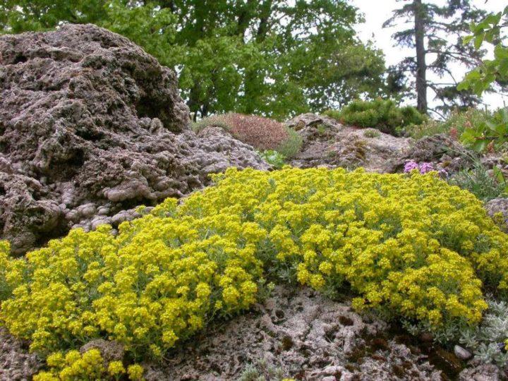 Алиссум скальный посадка и уход фото