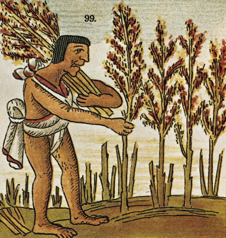 Полезные свойства листьев и цветов амаранта издавна известны людям