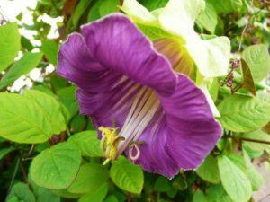 Цветок кобея: посадка и уход в открытом грунте