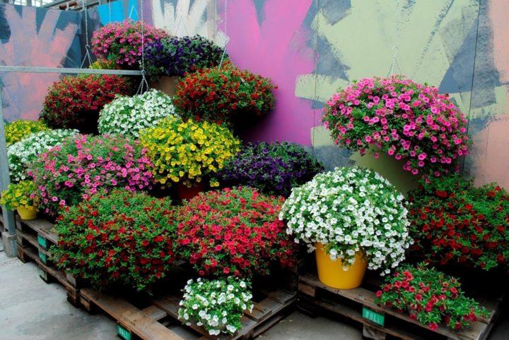 Многоцветие калибрахоа