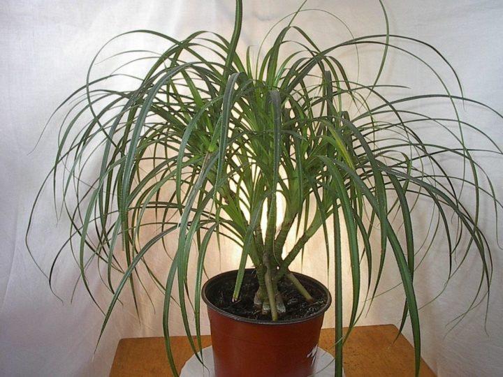 Уход за пальмой панданус в домашних условиях