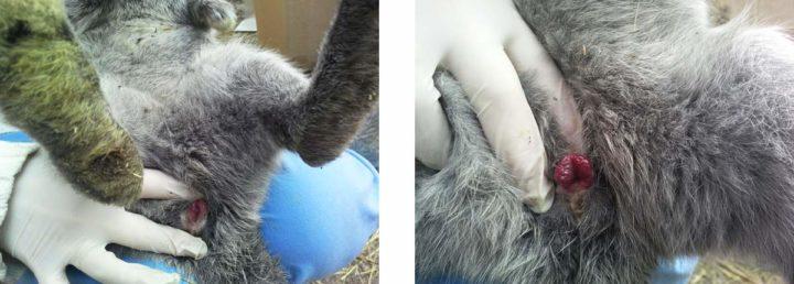 Половые органы крольчихи