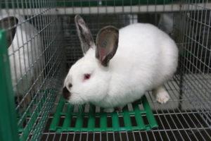 Как самостоятельно определить пол кролика