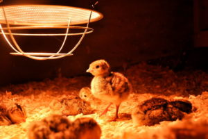 Как лучше отапливать курятник: инфракрасная лампа для обогрева