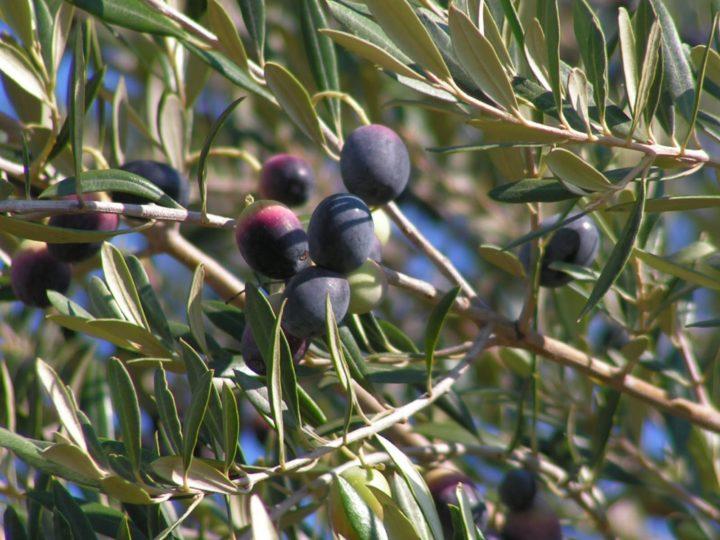 Поспевающие оливки