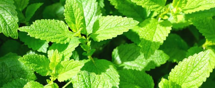Трава мята лечебные свойства и противопоказания