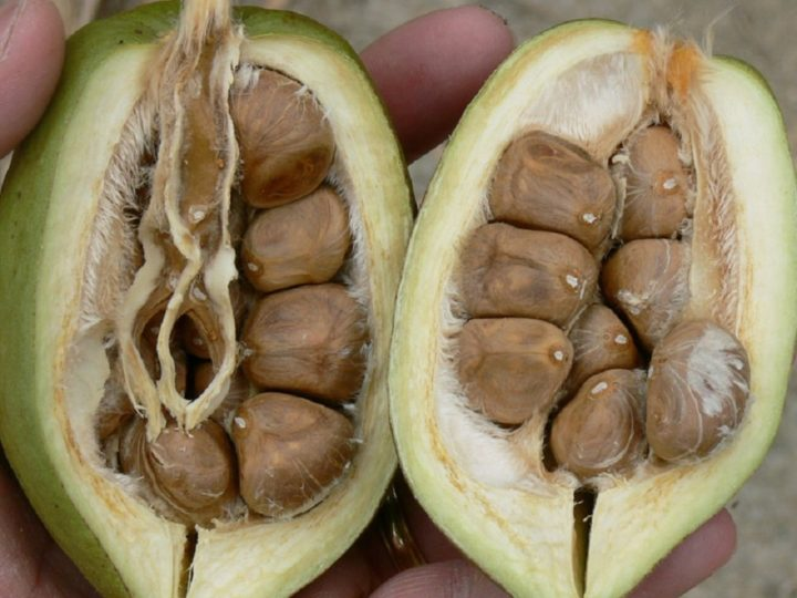 Плоды пахиры