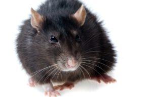 Самые распространенные средства борьбы с крысами в частном доме