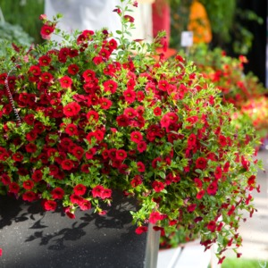 Цветок калибрахоа выращивание и уход