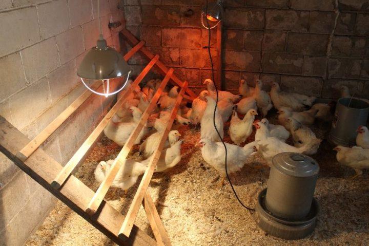 Использование ИК лампы для обогрева и обычной лампы для освещения курятника