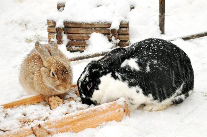 Ушастые едят снег