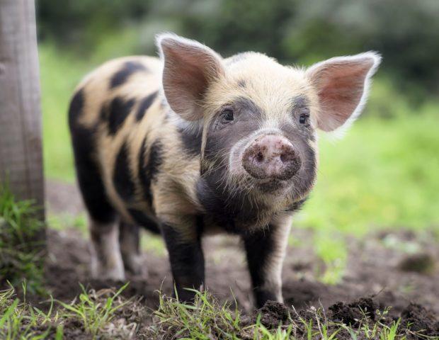 Болезнь рожа у свиней опасность для человека. Симптомы, лечение и профилактика заболевания рожа свиней. Что является возбудителем заболевания