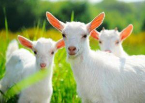 Подготовка коз к окоту - Календарь окота коз