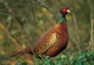 Условия содержания фазанов при разведении на приусадебном участке: видео выращивания и ухода за домашними птицами