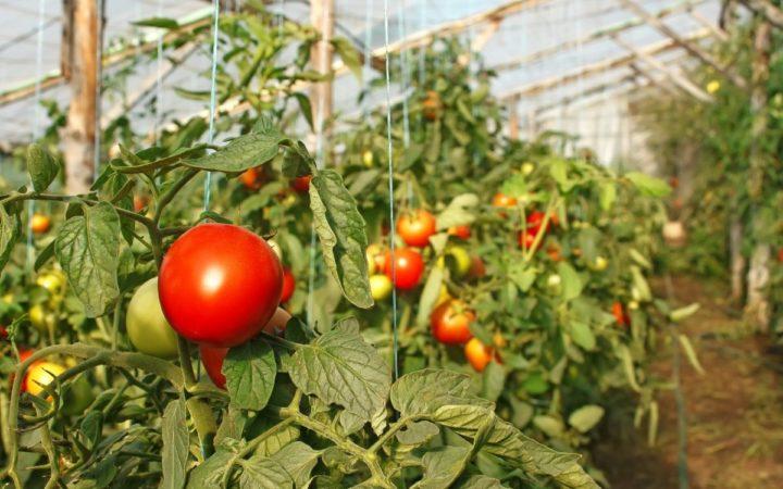 Подвязка помидор