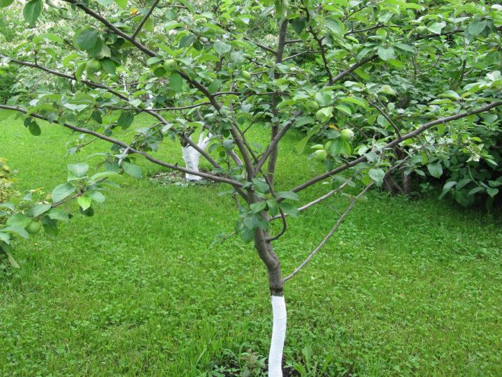 Яблочный сад