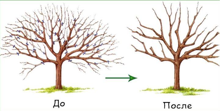 Для омоложения дерева