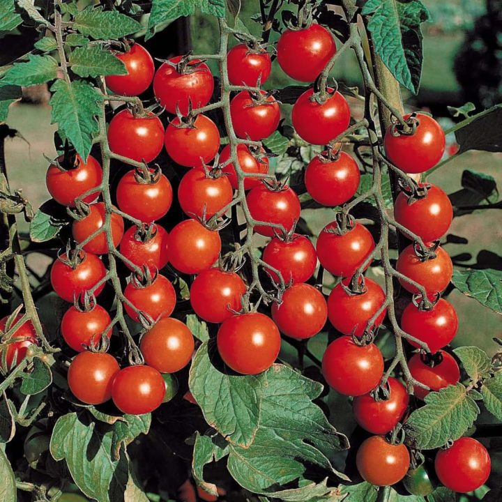 Выращивание томатов черри в теплицах 131