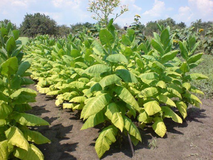 Выращивание табака фото 72