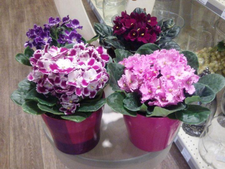 Фиалки фото цветок уход в домашних условиях