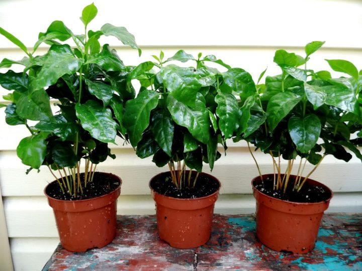 Дерево кофейное уход в домашних условиях