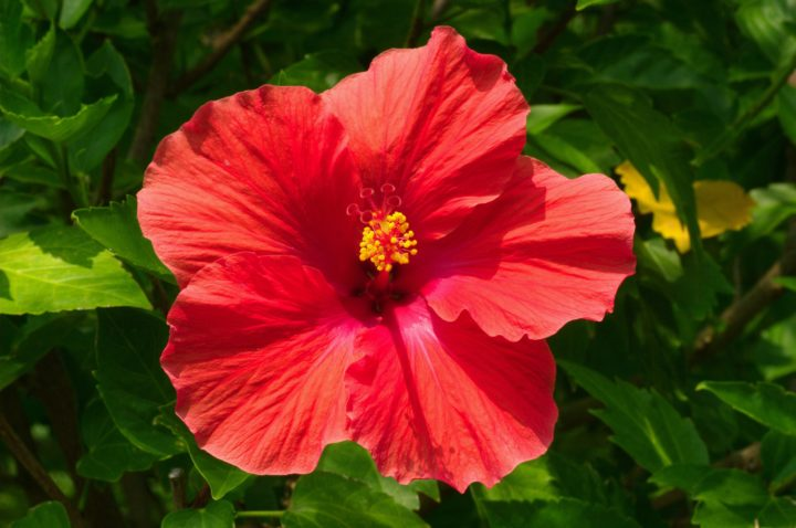 Цветок китайская роза это