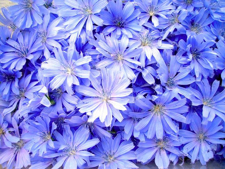 Цикорий цветов