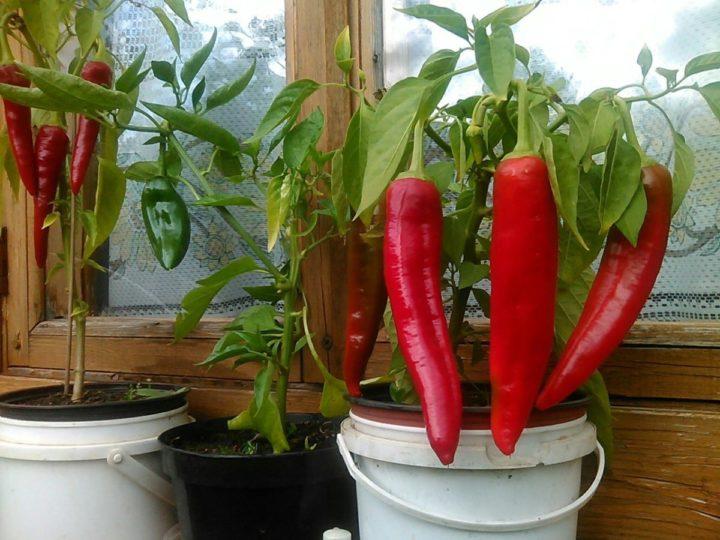 Красный болгарский перец выращивание 77