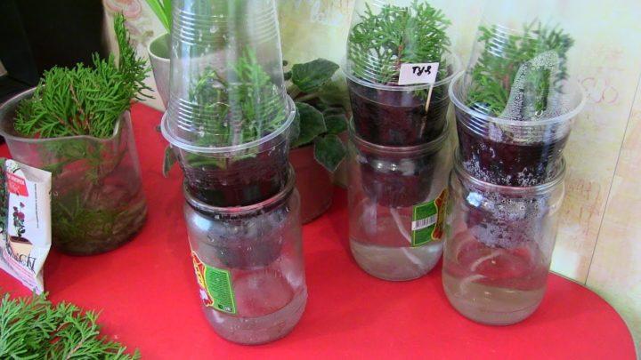 Выращивание туи из черенка домашних условиях 73