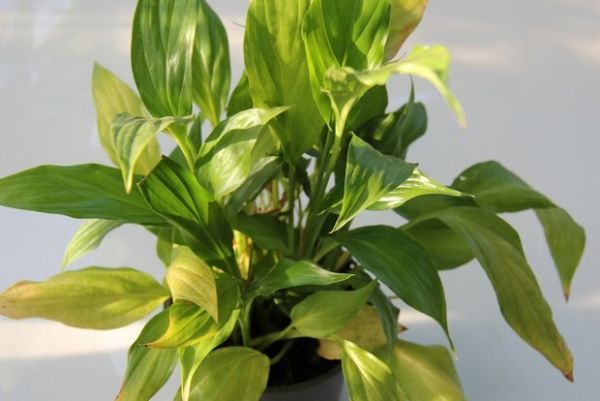 Почему у спатифиллума желтеют и чернеют листья (кончики листьев) - причина и что делать